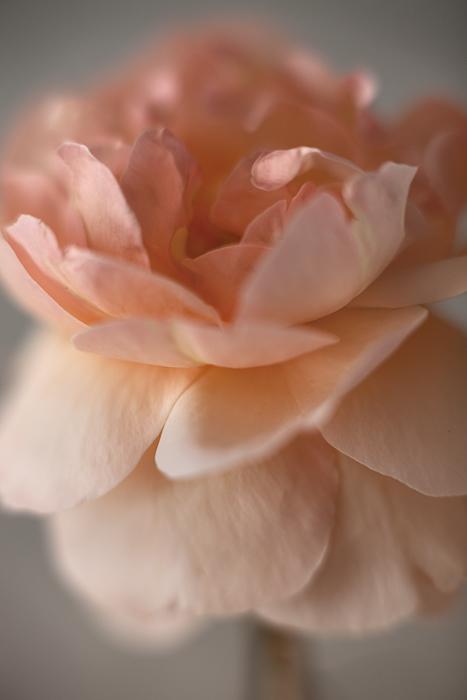 2011-09-11-Rose-7590.jpg