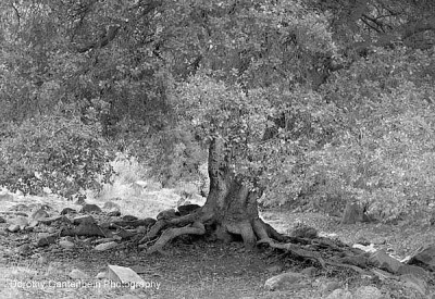 oak_shot__pano_bw